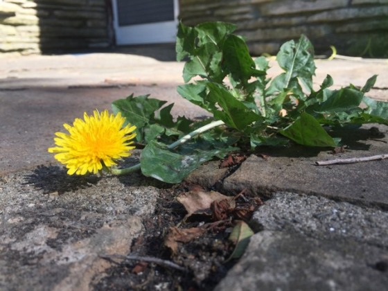 dandelion on patio 7.2.17