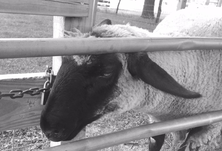 bw sheep
